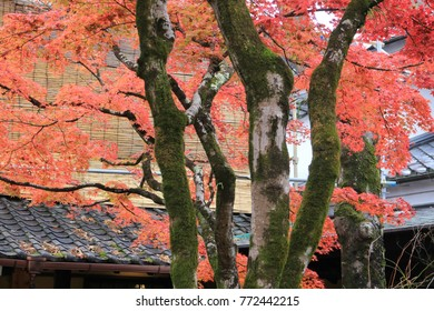 Maple leaves in front of Japanese buildings.