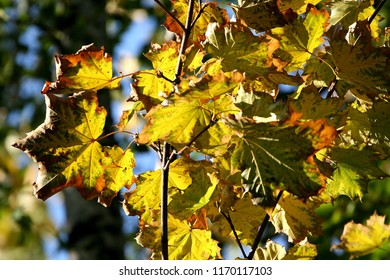 Maple leaves. Golden colors of autumn. Russia
