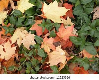 Maple leaves in ground cover