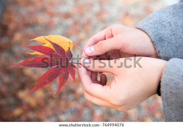 Maple leaves and hands of womanI photographed November 12, 2017. I took a woman 's hand in a lot of leaves. It is autumn.