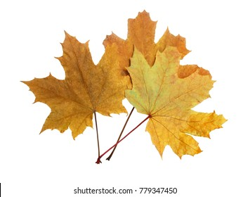 Maple leaves isolated on white background.