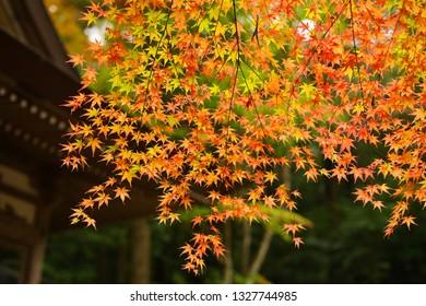 Maple leaves (Momiji) - Shutterstock ID 1327744985