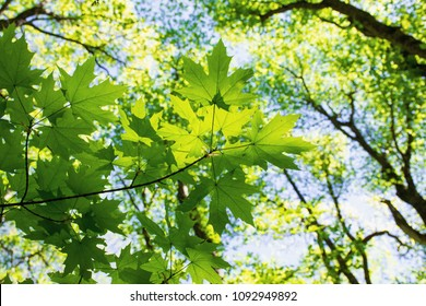 Maple leaves on blue sky background