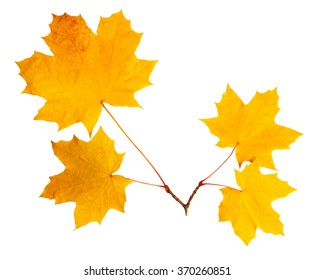 Maple leaves on cutting isolated on white