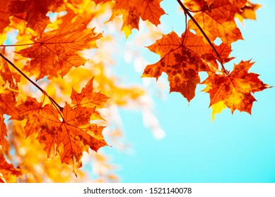 Maple leaves on tree against blue sky. Autumn fall background. Colorful foliage.
