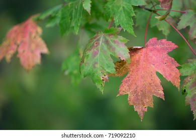 Maple leaves on the tree. They are just starting to turn colour signalling the start of autumn.