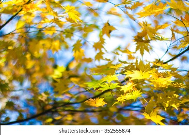 Maple leaves on the tree turns to yellow in late Autumn