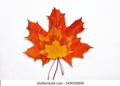 Maple leaves on a white background.