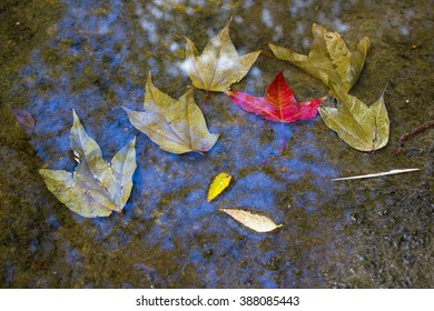 The Maple leaves at Phu Kradueng National Park, Loei, Thailand