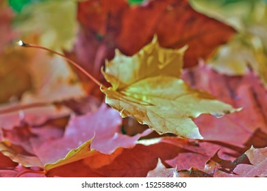 Maple leaves red and yellow, background.  Autumn in the forest all the soil is covered with fallen leaves.