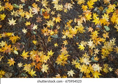 the maple leaves scattered on the ground during autumn season