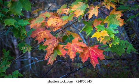 Maple leaves showing colorful fall foliage