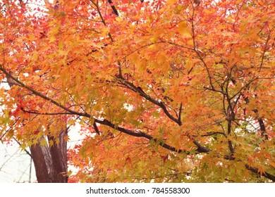 Maple leaves in spring south korea