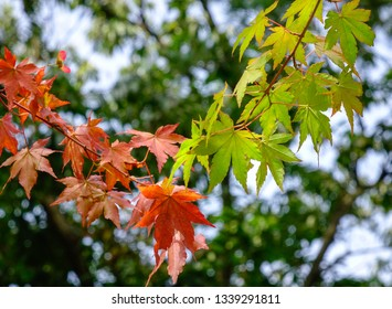Maple leaves at sunny day in autumn. Nature background.