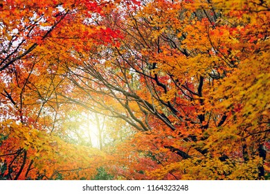 Maple leaves and sunset in Autumn season of Japan.