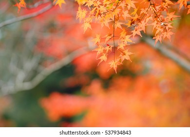 Maple red leaves and orange autumn ,background,