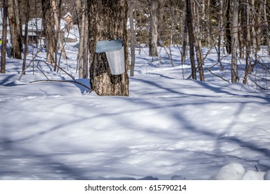 Maple sap collection bucket in the spring, Quebec, Canada