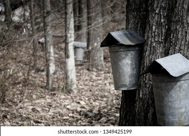 Maple sap tapping in New England