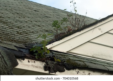 Maple saplings and other weeds growing out of the gutter and roof of an abandoned house in Detroit