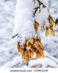 maple seeds in the snow