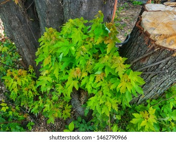 Maple shoots growing at the base of a maple tree