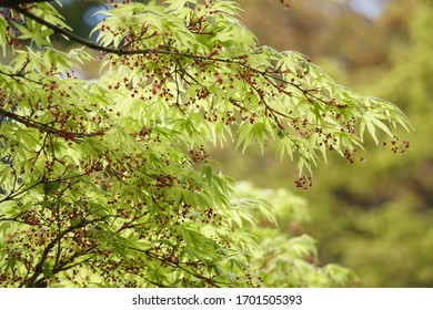 Maple with small cute flowers in spring
