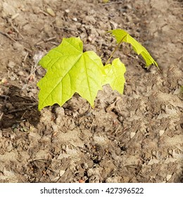 Maple Acer Tree Seedling Young Plant Stock Photo Edit Now