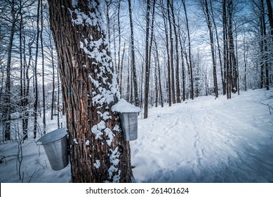 Maple syrup buckets and a sugar shack in a fresh fallen snow covered woods.