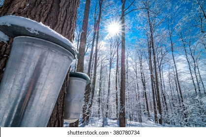 Maple syrup collection buckets for a sugar shack in the Maple wooded winter forest.