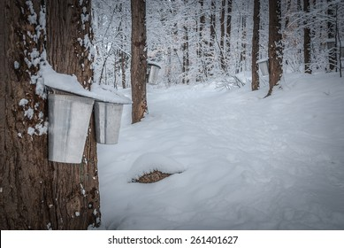 Maple syrup genesis...Maple syrup buckets in a fresh fallen snow covered woods.