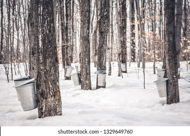 Maple syrup production in Quebec. Pails used to collect sap from maple trees in spring.