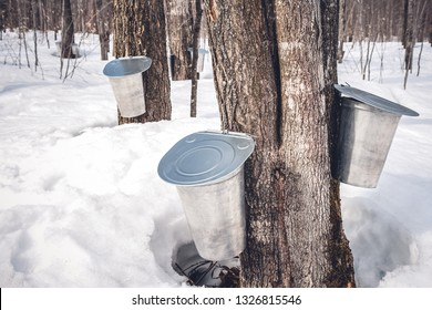Maple syrup production season in Quebec. Pails attached to maple trees to collect sap.