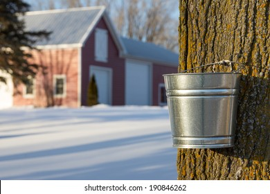 Maple Tapping - Tapping maple trees for their sap in the Spring which will be converted to maple syrup.