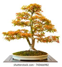 Maple tree (Acer palmatum) as bonsai white isolated