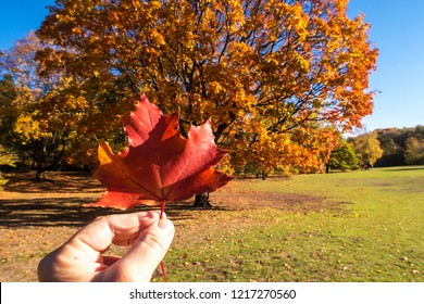 Maple Tree in autumn with single leaf in human hand