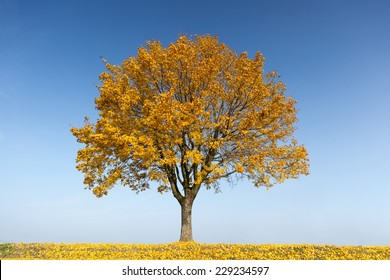Maple tree in autumn with yellow leaves