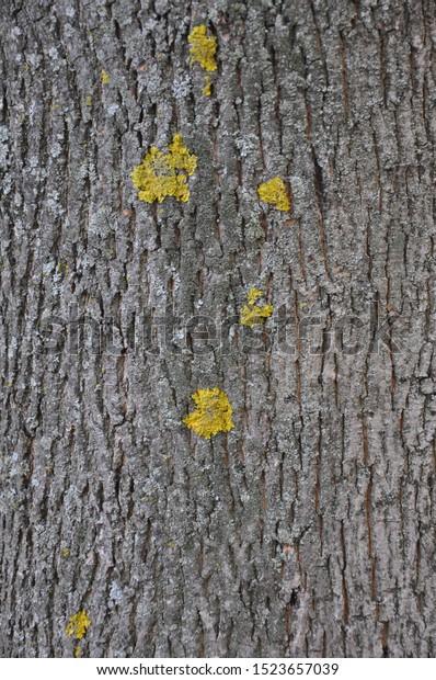 Maple Tree Bark Different Texture Shape Stock Photo Edit Now