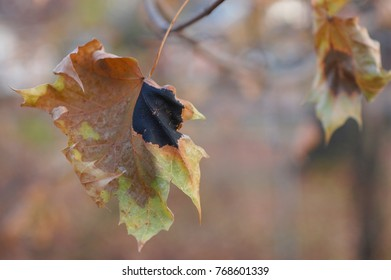 Maple tree black spot tar spots on leaves soft background