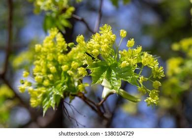 Maple tree blossoms