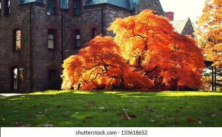 Maple Tree in Boston.