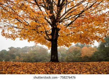 Maple Tree in Bright Orange Autumn Color