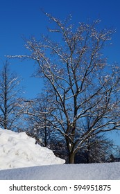 Maple tree covered with Snow