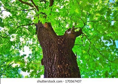 Maple tree crown in sunlight