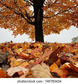 Maple tree and fallen leaves in autumn