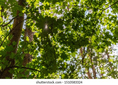 maple tree in forest at sunny day with selective focus and bokeh blur - upward view
