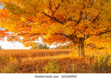 Maple tree in golden fall colors