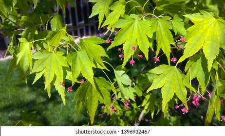 Maple tree green, 5-lobed leaves with toothed margins & purple flowers in spring. Acer five-lobed green foliage & purple flowers. Flowering maple tree leafy branches.