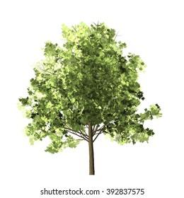 Maple Tree Isolated on white background.