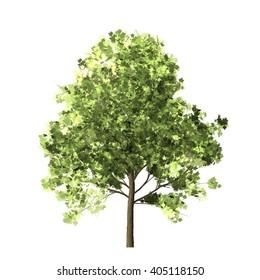 Maple Tree Isolated on white background, 3D Illustration.