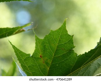 Maple Tree Leaf with Bokeh